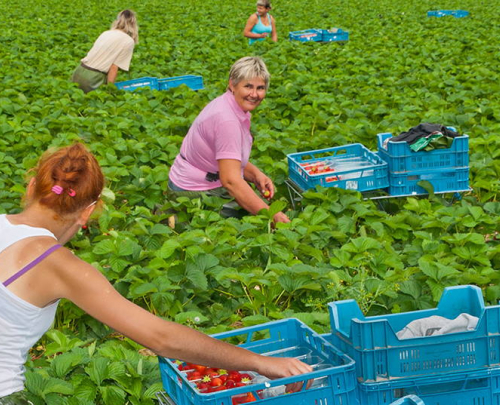 Two female pickers working in a field of strawberries, placing fruit into blue trays stacked among the plants. Two more workers in the background.